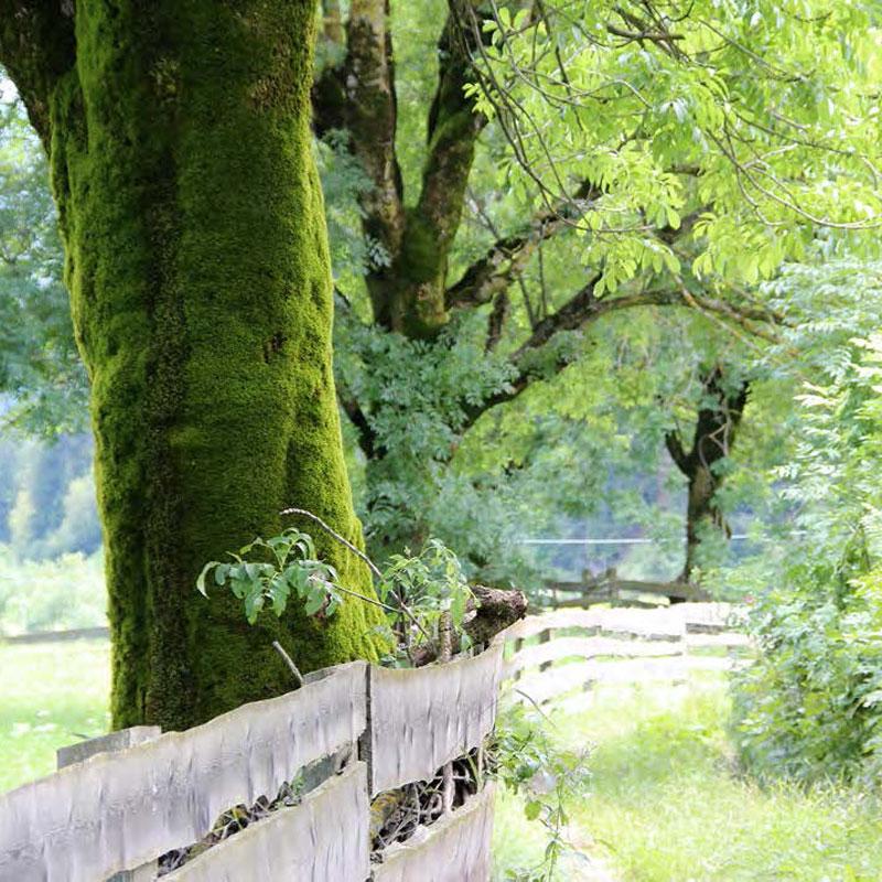 moosbaum am weg