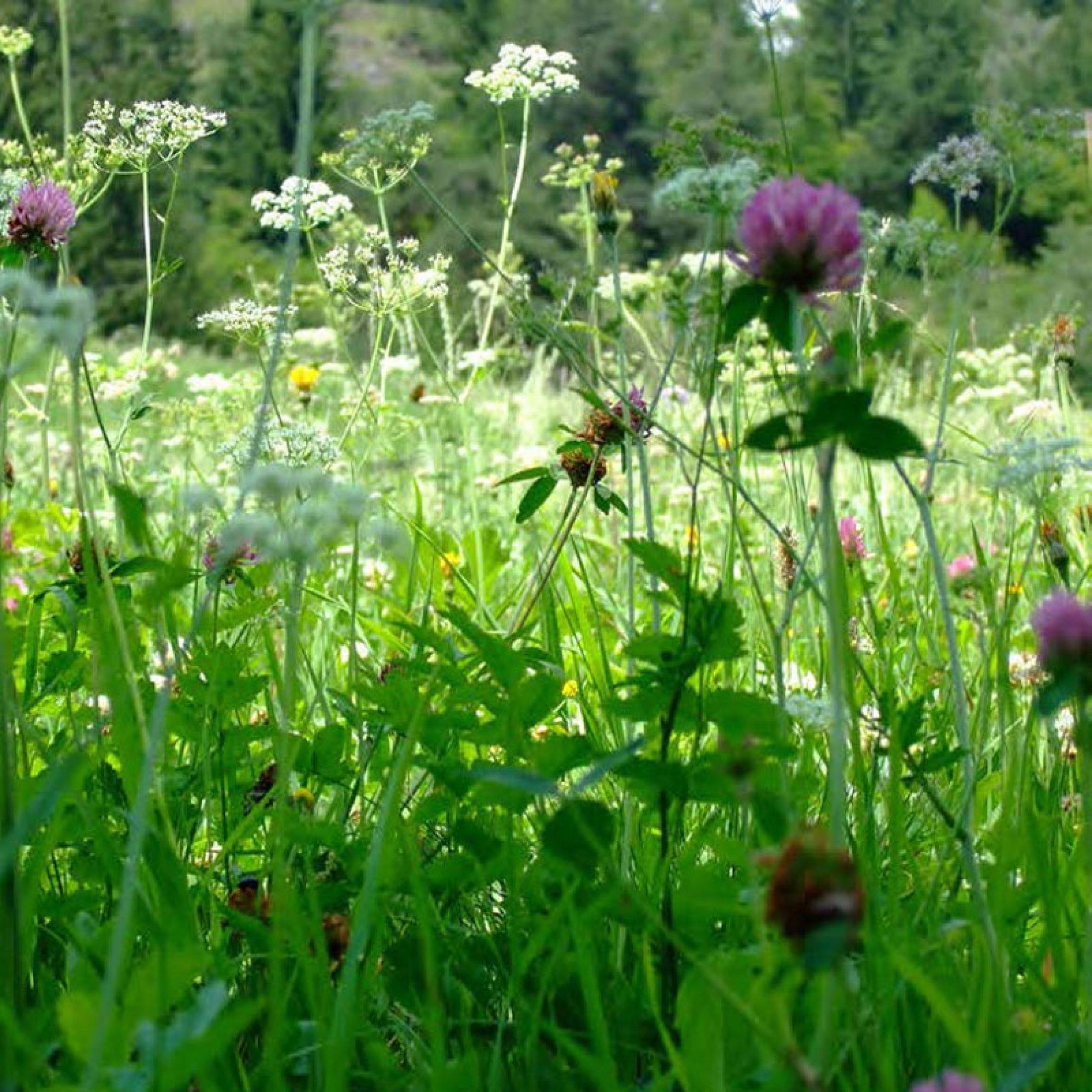 wildkräuterwiese